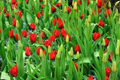 Tulip flower and bud Stock Image