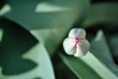 Tulip flower bud, blurry soft green leaves background, close up detail. Top view royalty free stock photos