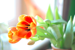 Tulip flower for card or banner Royalty Free Stock Photo