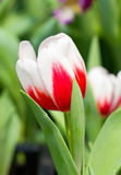 Tulip Flower. Royalty Free Stock Photography