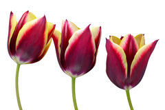 Tulip flower. Close up of a tulip flower isolated on white background Royalty Free Stock Photo