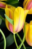 Tulip flower close-up Stock Photography