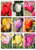 Tulip flower collage Stock Images
