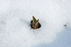 Tulip flower coming out from real snow Stock Photos