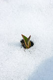 Tulip flower coming out from real snow Stock Image