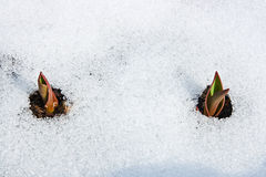 Tulip flower coming out from real snow Royalty Free Stock Image