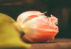 Tulip flower on dark background, macro shot Royalty Free Stock Photos