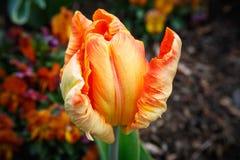 Tulip Flower de Ressort-floraison orange Photographie stock libre de droits