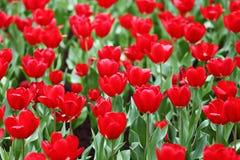 Tulip in flower field Stock Photo