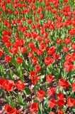 Tulip in flower field Stock Photos
