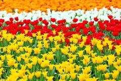 Tulip in flower field Royalty Free Stock Photo