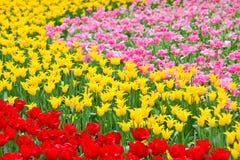 Tulip in flower field Stock Image