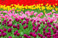 Tulip in flower field Royalty Free Stock Images