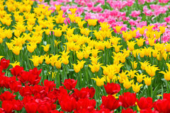 Tulip in flower field Stock Images