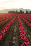 Tulip flower field Royalty Free Stock Image