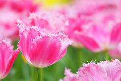 Tulip in flower field Royalty Free Stock Photos
