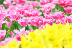 Tulip flower field Royalty Free Stock Images