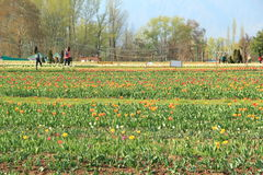 Tulip flower field in kashmir. Royalty Free Stock Photography