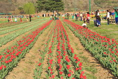 Tulip flower field in kashmir. Stock Photos
