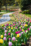 Tulip flower field in spring Royalty Free Stock Images