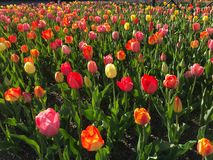 Tulip Flower Field In Spring stock image