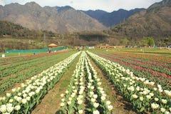 Tulip Garden. Royalty Free Stock Photo