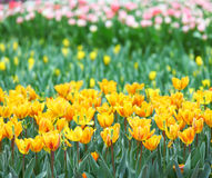 Tulip in flower field Royalty Free Stock Photography