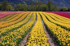 Tulip flower fields Stock Photos