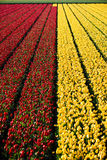 Tulip Flower Fields Stock Afbeelding