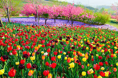 The tulip flower fields Royalty Free Stock Photo