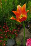 Tulip flower flowering in sunlight on background tulips flowers stock photo