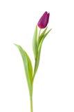 Tulip flower full-length Stock Photography
