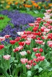 Tulip Flower garden background Royalty Free Stock Photography