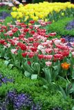 Tulip Flower garden background Royalty Free Stock Images