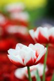 Tulip Flower garden background Stock Photo