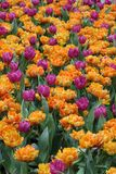 Tulip Flower garden background Stock Image