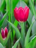 Tulip flower in the garden Stock Photos