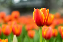 Tulip flower garden Royalty Free Stock Images