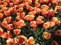 Tulip Flower Garden Stock Photo