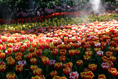 Tulip flower garden Royalty Free Stock Image