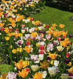 Tulip Flower Garden in a Springtime Yard. Multi Colored Tulips in a Garden during the Spring royalty free stock image