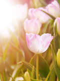 Tulip flower in the garden with warm sunlight Royalty Free Stock Photo