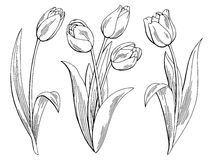 Tulip flower graphic black white isolated sketch illustration Royalty Free Stock Image