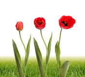 Tulip flower and green grass Royalty Free Stock Photography