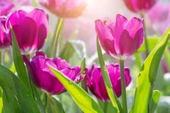 Tulip flower with green leaf background in tulip field at winter or spring day for postcard beauty decoration and agriculture. Concept design royalty free stock photos