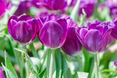 Tulip flower with green leaf background in tulip field at winter or spring day for postcard beauty decoration and agriculture. Concept design stock photos