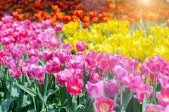 Tulip flower with green leaf background in tulip field at winter or spring day for postcard beauty decoration and agriculture. Concept design stock image