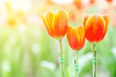 Tulip flower with green leaf background in tulip field at winter or spring day for postcard beauty decoration and agriculture. Concept design royalty free stock images