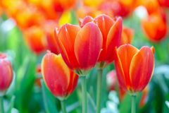 Tulip flower with green leaf background in tulip field at winter or spring day for postcard beauty decoration and agriculture. Concept design stock photo