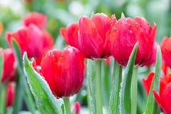 Tulip flower with green leaf background in tulip field at winter or spring day for postcard beauty decoration and agriculture. Concept design royalty free stock photo